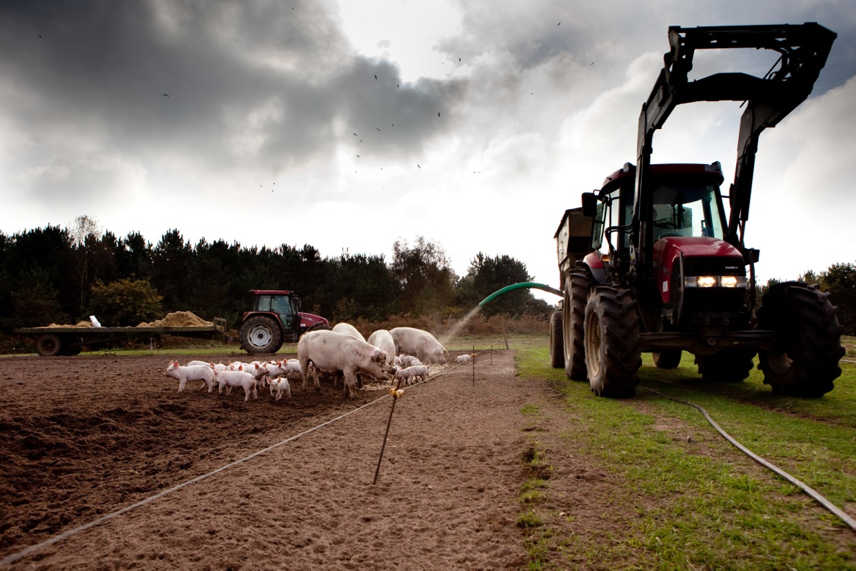 A tractor overshadow the pigs on the Dingley Dell farm